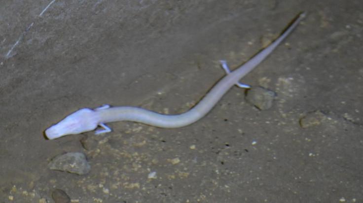Čovječija ribica: Može preživjeti isključivo u čistim i nezagađenim vodama