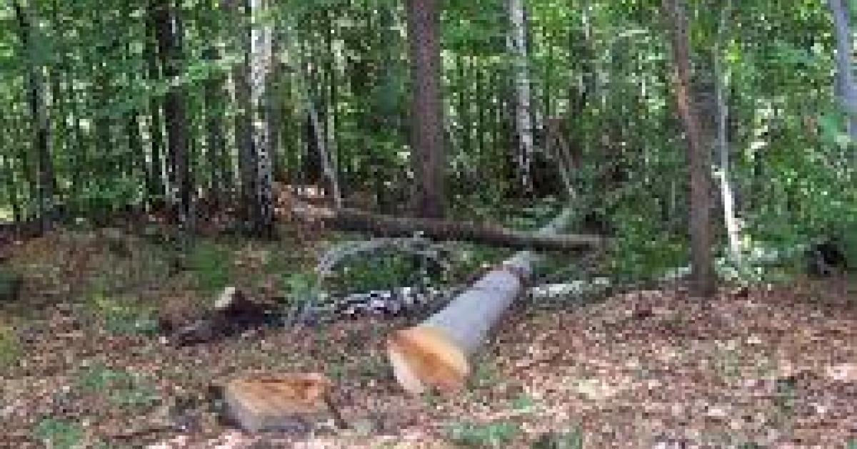Billedresultat for Posjekao 50 stabala hrasta na tuđem imanju